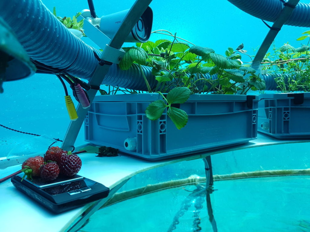 Nemo's Garden strawberries